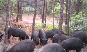 Wild Hog Trap Gate