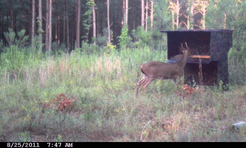 "Young Buck At The Original Double ""D"" Deer Feeder"