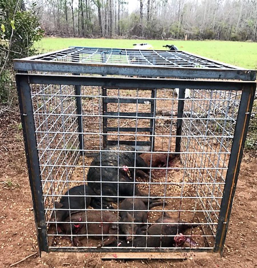 Dead Hogs in the Hog Trap!